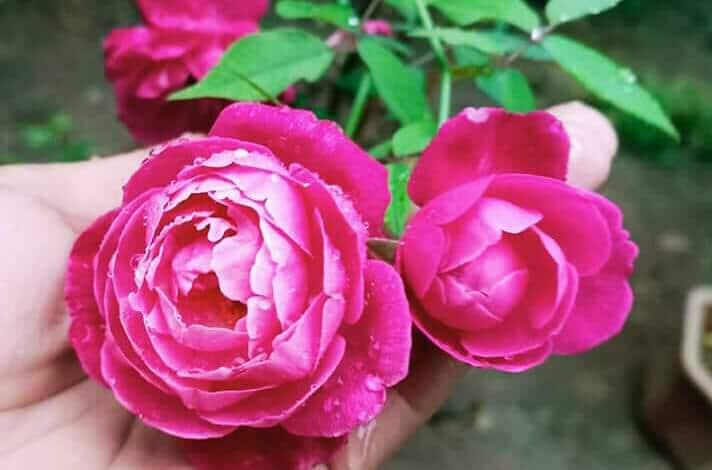 trù anh blog hoa hồng